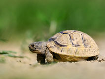 Spur thighed turtle & x28;Testudo graeca& x29; in natural habitat Royalty Free Stock Photo