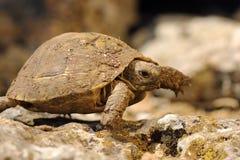 Spur thighed turtoise walking in natural habitat. In early spring, animal full of mud from hibernation  Testudo graeca Royalty Free Stock Photos