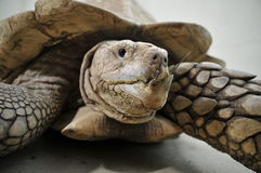 Spur tortoise. Close up of spur tortoise with mouth close stock photography