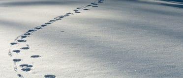 Spur von Wolfbahnen im frischen Schnee Stockfoto