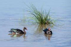 Spur-winged Fowl. A Spur-winged Fowl in a river in Southern Africa royalty free stock photos