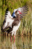 Spur-winged Goose royalty free stock photo