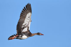 Spur-winged Goose flying Stock Photo