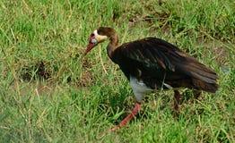 Spur-winged goose, Maasai Mara Game Reserve, Kenya. Spur-winged goose in Maasai Mara Game Reserve, Kenya stock images