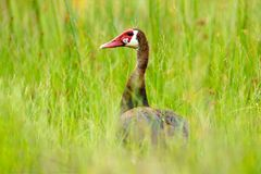 Spur-winged goose, Plectropterus gambensis, big black African bird with red bill sitting on the tree trunk. Animal in the habitat,. Okavango delta, Moremi royalty free stock images