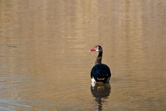 Spur-winged Goose Stock Photos