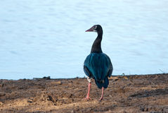 Spur-winged Goose Royalty Free Stock Photography