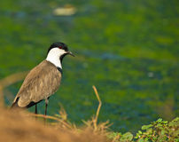 The Spur-winged Lapwing Stock Photos