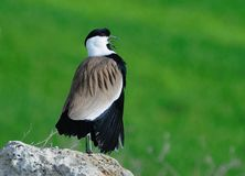 Spur-winged lapwing Stock Photos