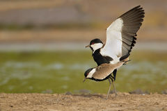 Spur-winged lapwing Royalty Free Stock Photos