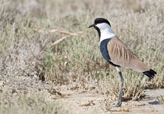 Spur-winged Lapwing Royalty Free Stock Image