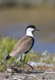 Spur-winged Lapwing. Spur winged lapwing walking around royalty free stock photography