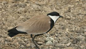 Spur winged Lapwing Royalty Free Stock Photos