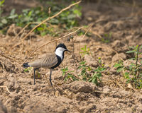 Spur-winged Lapwing royalty free stock photo