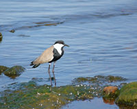 Spur-winged Lapwing in Africa Royalty Free Stock Images