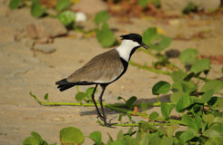 Spur-winged lapwing bird Stock Photography