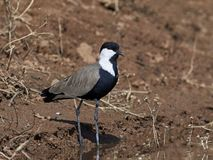 Spur-winged lapwing Vanellus spinosus. Spur-winged lapwing in its natural habitat in Senegal royalty free stock images
