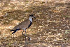 Spur winged lapwing royalty free stock images