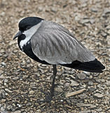 Spur-winged lapwing 1 Stock Photos