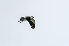 Spur-winged Lapwing in mid flight. Over Hawassa Lake royalty free stock photo
