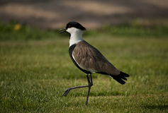 Spur-winged lapwing Stock Images