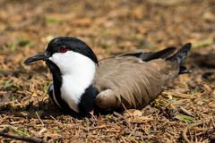Spur-winged Lapwing. A Spur-winged lapwing relaxing in the underbrush Royalty Free Stock Photography