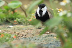Spur-winged lapwing. Standing on the soil royalty free stock image
