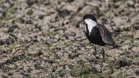 Spur-winged Lapwing in Swamp. Spur-winged Lapwing, Vanellus spinosus, is standing tall among weeds in Ziway, Ethiopia, Africa stock images