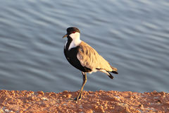 Spur-winged lapwing or Vanellus spinosus By the lake Royalty Free Stock Images