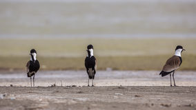Spur-winged lapwings. Group of Spur-winged lapwings Vanellus spinosus are are protecting their nest from intruders Stock Photography