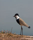 Spur-winged Plover Royalty Free Stock Photos