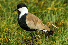 Spur Winged Plover. Adult Spur Winged Plover aka Spur Winged Lapwing Foraging In Grassy Field stock images