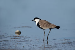 Spur-winged plover or lapwing, Vanellus spinosus Stock Photos