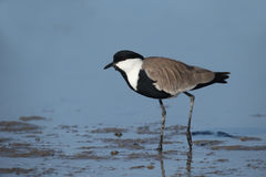 Spur-winged Plover Or Lapwing, Vanellus Spinosus Stock Photo