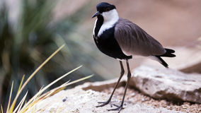 Spur-winged plover Stock Image