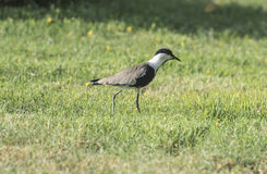 Spur winged plover stood in grass. Spur-winged plover lapwing vanellus spinosus stood in grass Royalty Free Stock Photos