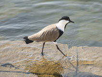 Spur Winged Plover Wading In Water Royalty Free Stock Photo