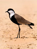 Spur-winged plover. Wondering close to the  lake of Wadi El Ryan west desert of Egypt Royalty Free Stock Image