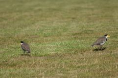 Spur winged plovers. Spur winged plovers Vanellus miles novaehollandiae. Auckland. North Island. New Zealand royalty free stock images
