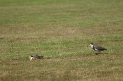Spur winged plovers. Spur winged plovers Vanellus miles novaehollandiae. Auckland. North Island. New Zealand stock image