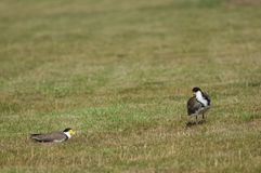 Spur winged plovers. Spur winged plovers Vanellus miles novaehollandiae. Auckland. North Island. New Zealand royalty free stock photo