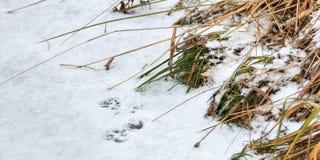 Spuren auf dem Schneefrettchen Stockfoto