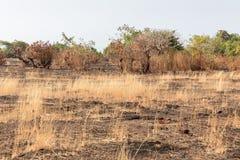Spuren des Hiebs und des Brandes im Dschungel, Agonda-Strand, Goa, Indien stockfoto