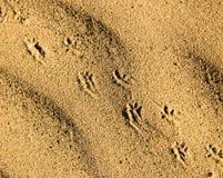 Spuren des Tieres auf dem Sand in der Wüste Lizenzfreies Stockbild