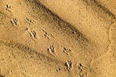 Spuren des Tieres auf dem Sand in der Wüste Stockfotos
