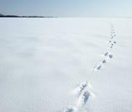 Spuren eines Hasen auf einem Schnee Stockbilder