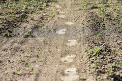 Spuren von a bemannt Füße auf Jungpflanzen eines landwirtschaftlichen Feldschmutzes lizenzfreie stockfotos