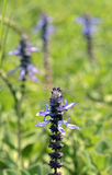 Spurflower de plante médicinale en fleur Photos libres de droits