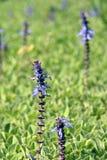 Spurflower de plante médicinale en fleur Images libres de droits