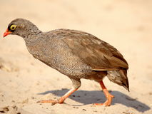 Southern african birds. Spurfowl at Chobe National Park Royalty Free Stock Image